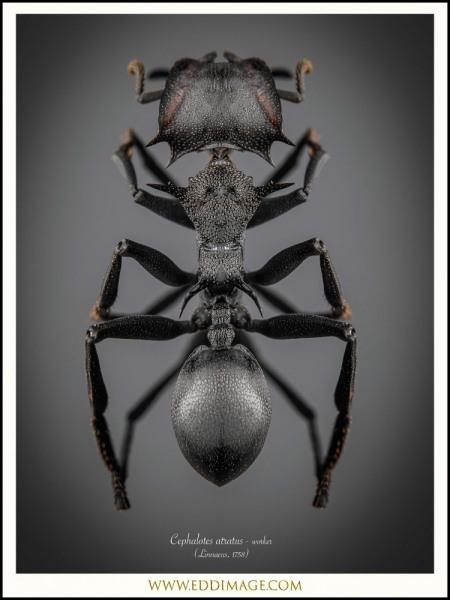 Cephalotes-atratus-worker-5-Linnaeus-1758
