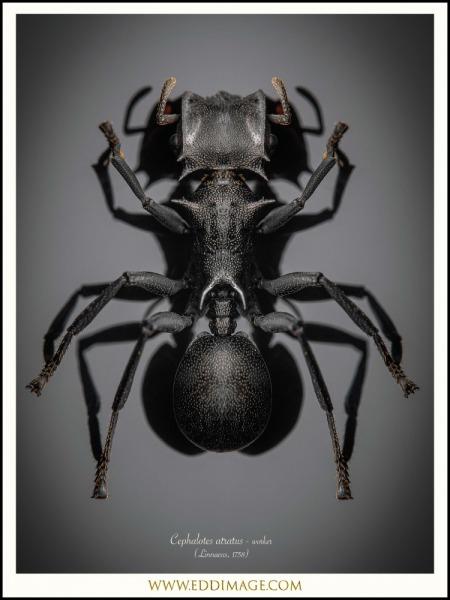 Cephalotes-atratus-worker-6-Linnaeus-1758