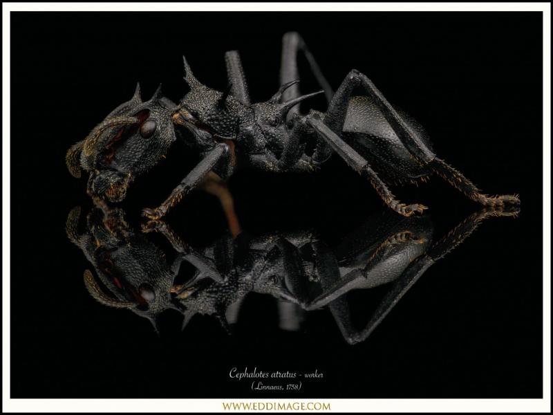 Cephalotes-atratus-worker-8-Linnaeus-1758