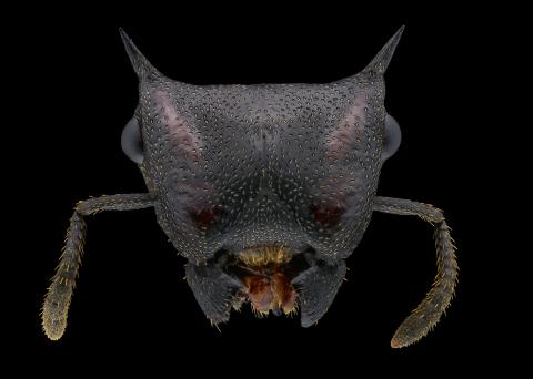 turtle ant [Cephalotes Atratus] - South America-2