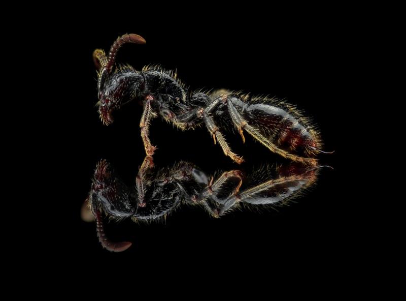 Cerapachys sulcinodis - Tibet