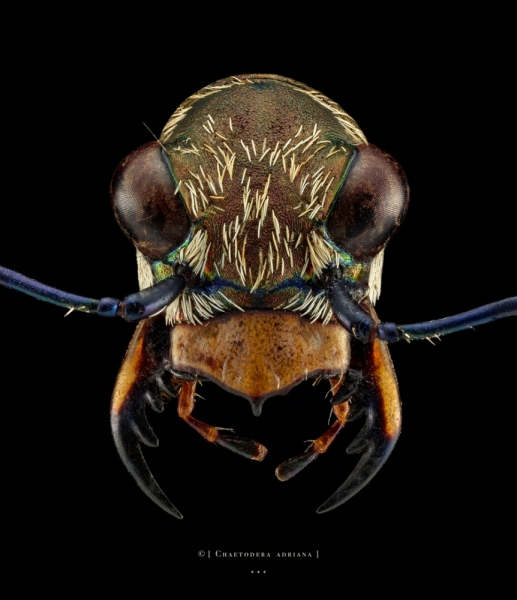Chaetodera adriana - Madagascar-2