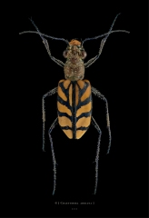 Chaetodera adriana - Madagascar