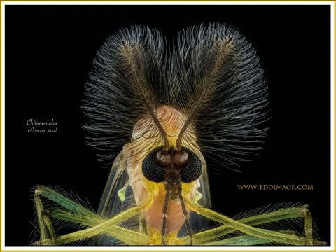 Chironomidae-Erichson-1841