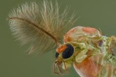 Midges [Chironomidae] UK