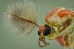 Midges [Chironomidae] UK-2