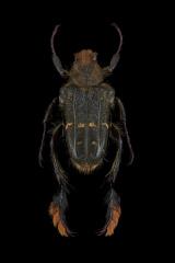 Chromoptilia-diversipes-Madagascar