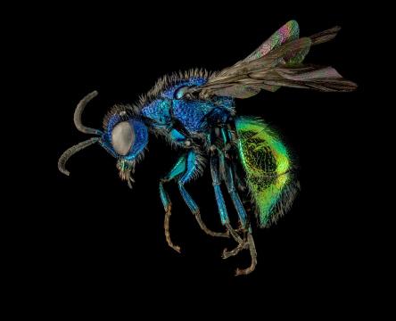 cuckoo-wasp-Chrysididae-Romania