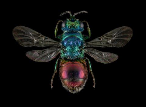 Ruby-tailed-Wasp-Chrysis-ignita-UK-2