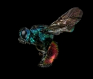 Ruby-tailed-Wasp-Chrysis-ignita-UK