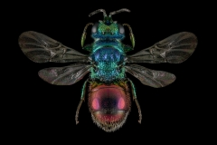 Ruby-tailed-Wasp-Chrysis-ignita-UK-2