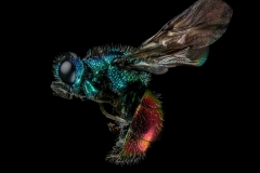 Ruby-tailed-Wasp-Chrysis-ignita-UK