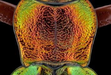 Golden ground beetle [Chrysocarabus auronitens]-3