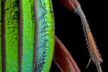 Golden ground beetle [Chrysocarabus auronitens]-5