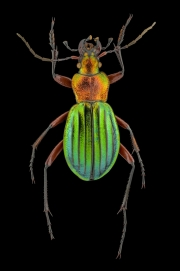 Golden ground beetle [Chrysocarabus auronitens]