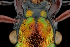 Golden ground beetle [Chrysocarabus auronitens]-2
