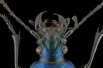 ground beetle [Chrysocarabus hispanus] France-2