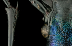 ground beetle [Chrysocarabus hispanus] France-3