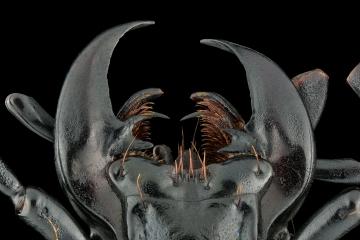ground beetle [Chrysocarabus hispanus] France-5