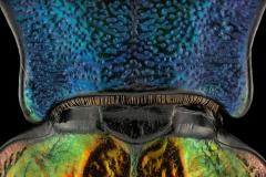 ground beetle [Chrysocarabus hispanus] France-6