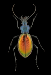 ground beetle [Chrysocarabus hispanus] France