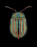 Rosemary-beetle-Chrysolina-americana-UK