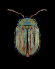 Rosemary-beetle-Chrysolina-americana-UK