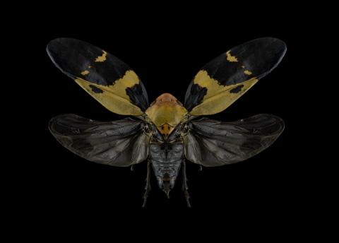 Cicada-Madagascar-1-Pano-Edit-2