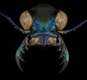 Cicindela-Calochroa-flavomaculata-China-2