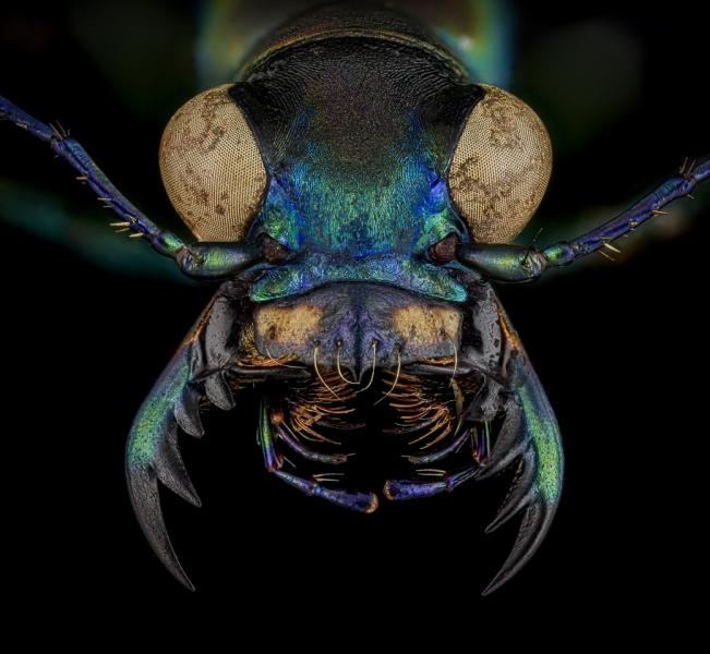 Cicindela-Calochroa-flavomaculata-China-3