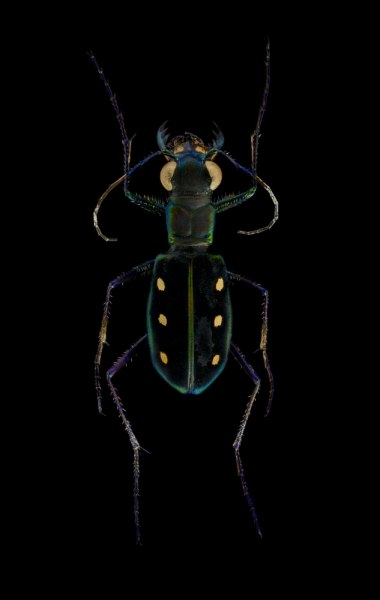 Cicindela-Calochroa-flavomaculata-China