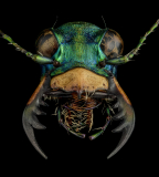 Cicindela-coerulea-nitida-Russia-3