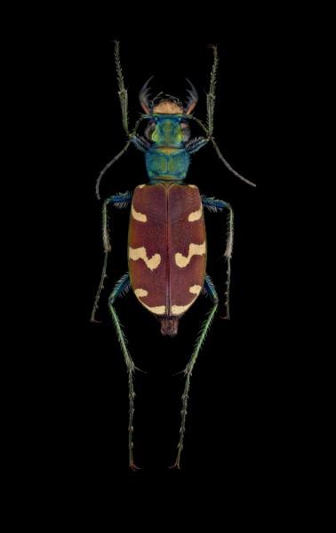 Cicindela-coerulea-nitida-Russia