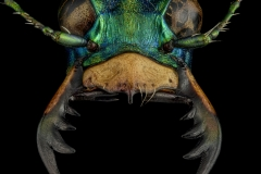 Cicindela-coerulea-nitida-Russia-2