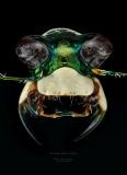 Cicindela dorsalis sauleyi - Cayo Costa Island Florida-2