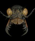 Cicindela-granulata-Kyrgystan-2