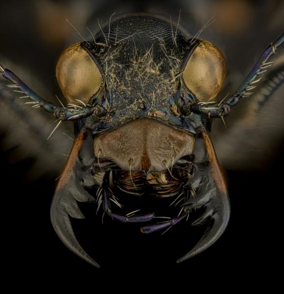 Cicindela-granulata-Kyrgystan-3