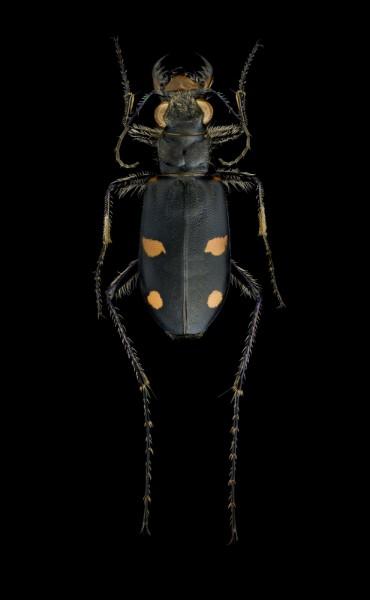 Cicindela-granulata-Kyrgystan