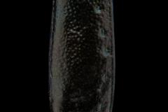 Cicindela-highlandensis-Florida-3