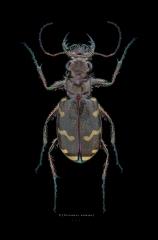 Cicindela hybrida - Romania