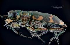 Coleoptera cicindelidae-3