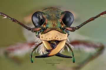Coleoptera cicindelidae-6