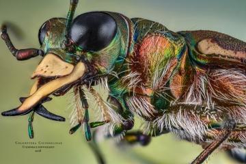 Coleoptera cicindelidae