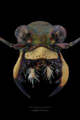 tiger beetle [Cicindela hybrida] Romania-3