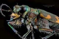Coleoptera cicindelidae-4