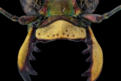 tiger beetle [Cicindela hybrida] Romania-2