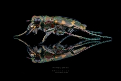 tiger beetle [Cicindela hybrida] Romania-4