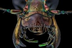 tiger beetle [Cicindela hybrida] Romania