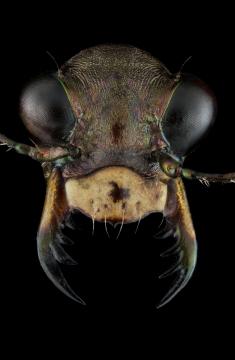 Cicindela-punctulata-Canada
