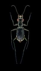 Cicindela-scabrosa-Florida-USA-3
